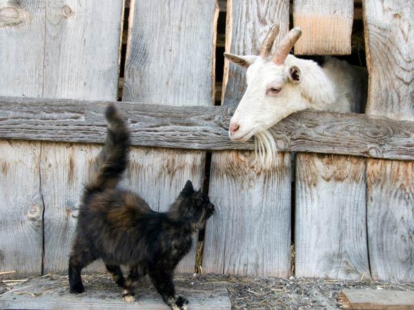 goatcat