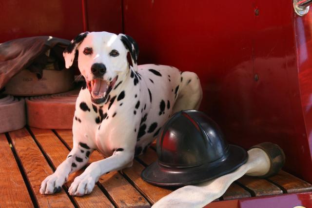 firefightingdog
